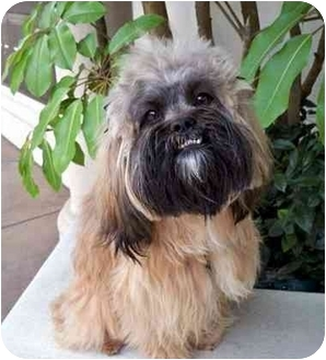 je t aime adopted dog los angeles ca lhasa apso