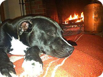 American Pit Bull Terrier/Labrador Retriever Mix Dog for adoption in San Diego, California - Dutch