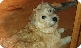 Corgi/Lhasa Apso Mix Dog for adoption in Ft. Collins, Colorado - Bella