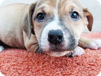 Boxer/Labrador Retriever Mix Puppy for adoption in Detroit, Michigan - Shelbee-Adopted!
