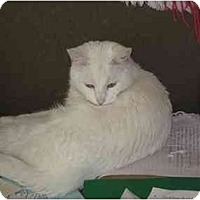 Domestic Shorthair Cat for adoption in Jacksonville, North Carolina - Sir Galahad