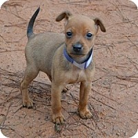 Adopt A Pet :: Champ - Athens, GA