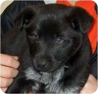 Puppies   Adopted Puppy   3395,97A   Winfield, KS   Chow Chow/Blue ...