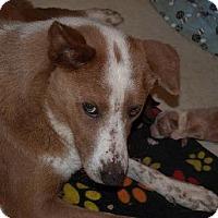 Adopt A Pet :: A297269  Amber - San Antonio, TX
