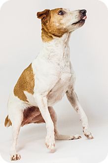 Jack Russell Terrier Mix Dog for adoption in Yelm, Washington - Harper