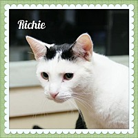 Domestic Shorthair Cat for adoption in Island Heights, New Jersey - Richie
