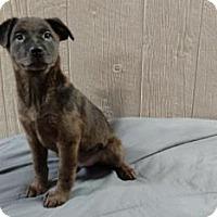 Adopt A Pet :: Karley-pending adoption - Manchester, CT