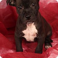 Adopt A Pet :: Tank Labmix - St. Louis, MO