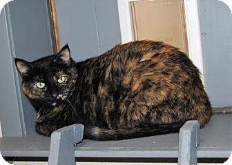 Domestic Shorthair Cat for adoption in Parsons, Kansas - Ana