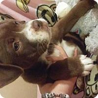 Adopt A Pet :: Stella - Foristell, MO