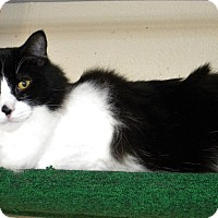 Domestic Longhair Cat for adoption in Prescott, Arizona - Einstein