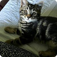 Domestic Shorthair Kitten for adoption in Carlisle, Pennsylvania - Louie