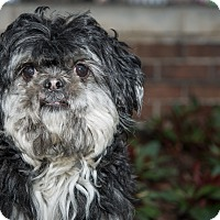 Adopt A Pet :: Gizmo - New York, NY