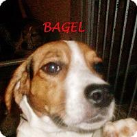 Adopt A Pet :: BAGEL - Ventnor City, NJ