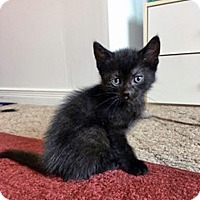 Adopt A Pet :: Hakuho - Mississauga, Ontario, ON