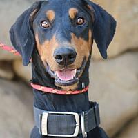 Doberman Pinscher Dog for adoption in Fillmore, California - Gibbs