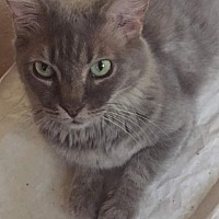 Domestic Mediumhair Cat for adoption in Scottsdale, Arizona - Mama Kitty
