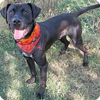 Boxer Mix Dog for adoption in Oklahoma City, Oklahoma - MAX