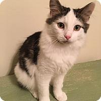 Domestic Longhair Kitten for adoption in Jeannette, Pennsylvania - Tux