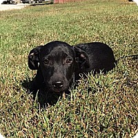 Labrador Retriever/Border Collie Mix Puppy for adoption in Washington, D.C. - Bixby