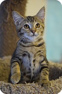 Domestic Shorthair Cat for adoption in DFW Metroplex, Texas - Meredith