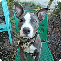 Adopt A Pet :: Blue - Wilmington, DE