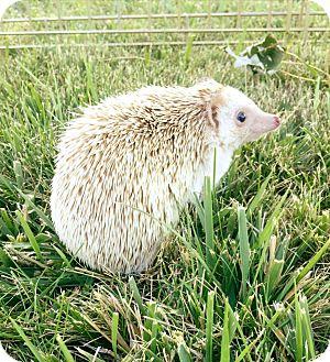 Hedgehog for adoption in Pasco, Washington - Olive