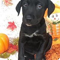 Adopt A Pet :: Atticus (MD-Kelly) - Newark, DE
