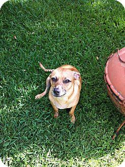 Dachshund/Hound (Unknown Type) Mix Dog for adoption in Schertz, Texas - Carolina