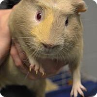 Adopt A Pet :: Ziggy - Michigan City, IN