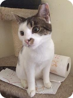 Domestic Shorthair Kitten for adoption in Devon, Pennsylvania - Petunia