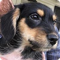 Adopt A Pet :: Sammy McGee - Lexington, KY
