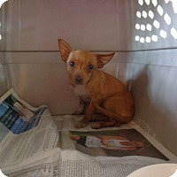 Adopt A Pet :: Sunshine - Only $95 adoption!! - Litchfield Park, AZ