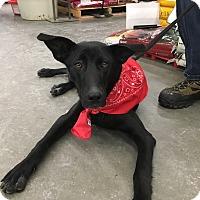 Labrador Retriever Mix Dog for adoption in Patterson, New York - Samantha