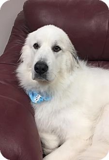 Great Pyrenees Mix Dog for adoption in Brattleboro, Vermont - Destiny