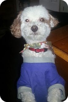 Poodle (Miniature) Dog for adoption in Northumberland, Ontario - Boomer