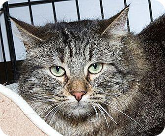 Domestic Mediumhair Cat for adoption in Sacramento, California - Clementine B