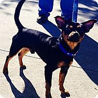 Adopt A Pet :: Brownie - St. Petersburg, FL