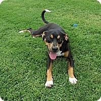 Adopt A Pet :: Dixie - Pocahontas, AR