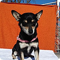 Chihuahua/Chihuahua Mix Dog for adoption in Elk Grove, California - TANNIS