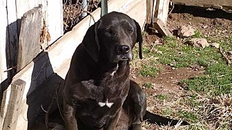 Labrador Retriever Mix Dog for adoption in Marion, North Carolina - Billy