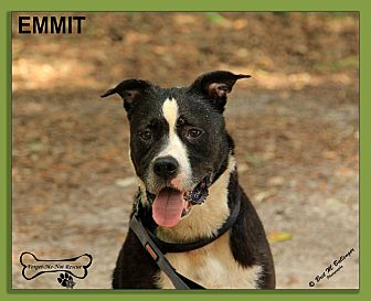 American Staffordshire Terrier Mix Dog for adoption in Sarasota, Florida - Emmit