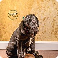 Adopt A Pet :: Othello**Intake Hold** - Virginia Beach, VA