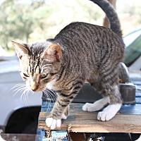 Adopt A Pet :: kangaroo tabby - Morriston, FL