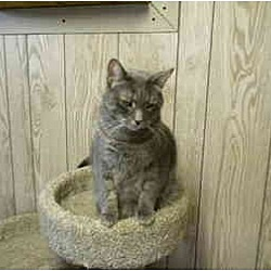 Photo 1 - Domestic Shorthair Cat for adoption in Bartlett, Illinois - Andy