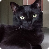 Bombay Cat for adoption in Los Angeles, California - Flossy