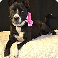 Adopt A Pet :: Gracie - Snyder, TX