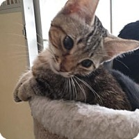 Domestic Shorthair Kitten for adoption in Westminster, California - Teddy