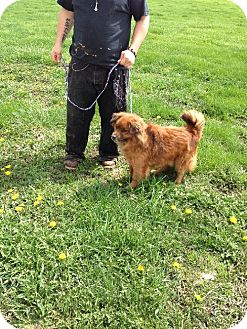 Chow Chow/Dachshund Mix Dog for adoption in Colfax, Illinois - Cherry/Henry