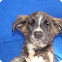 Adopt A Pet :: Alice - Oviedo, FL